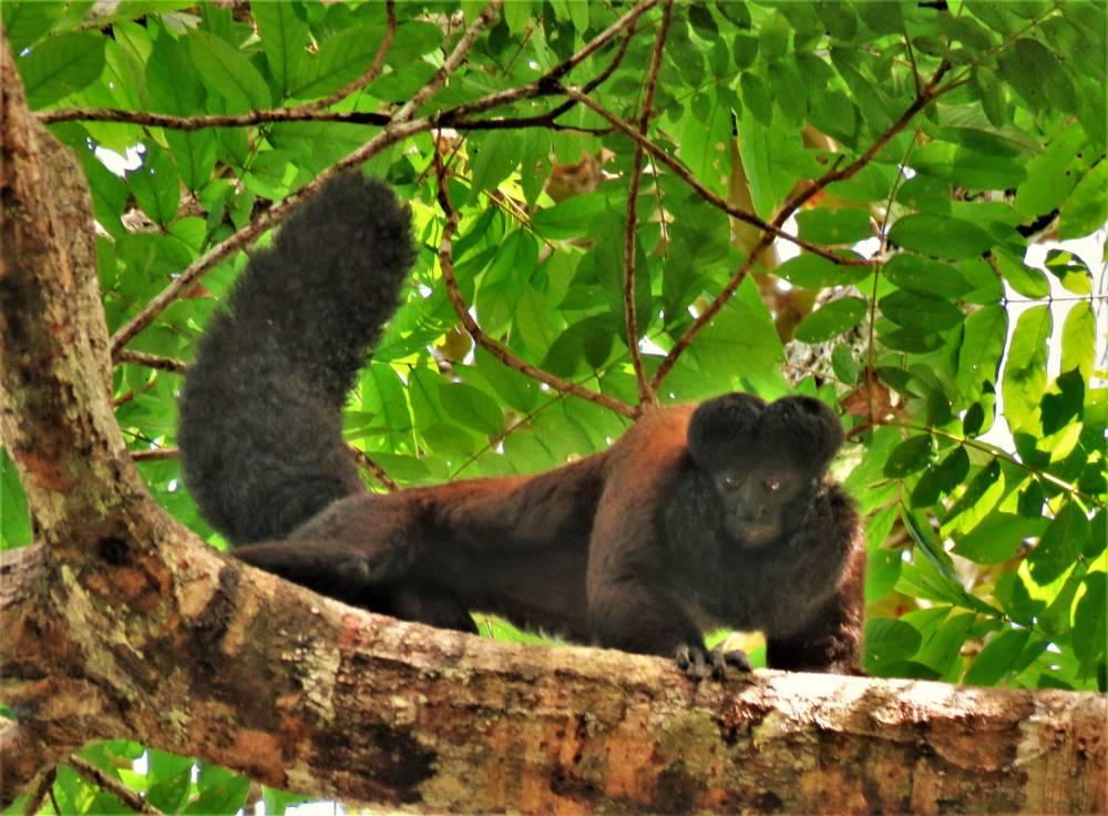 Dez anos de monitoramento pioneiro de primatas na Amazônia